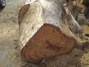 Gum tree that provided the burl